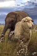 A vad és a gyapjas – egy elefánt és a birkája